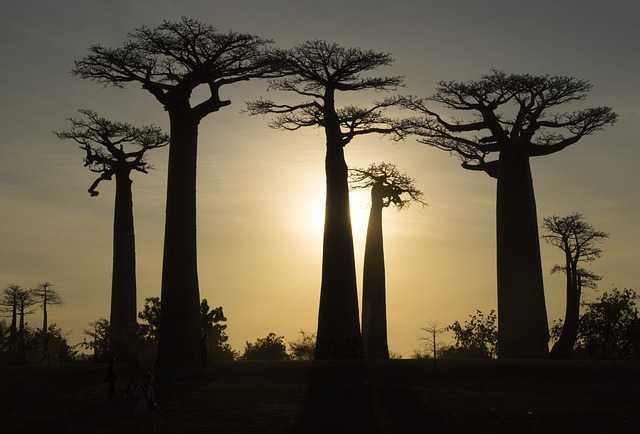 Boabab ağaçları